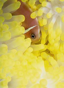 Anemonefish, Fiji  Nikon F4, 105Macro, Aquatica, Ikelite ... by Andrew Dawson