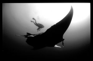 Manta and diver , taken in mozambique. Reverted to natura... by Andrew Woodburn