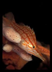 Longnose hawkfish challenging the macro port for his look... by Andrew Woodburn