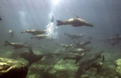 Sea Lions, Sea of Cortez, Housed Nikon F, 24mm Nikkor Lens by Rick Tegeler
