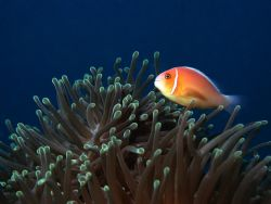 clown fish and anenome by Mitch Bowers
