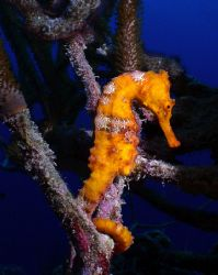 Seahorse.  My first try with a digital camera, Olympus ca... by Maryke Kolenousky