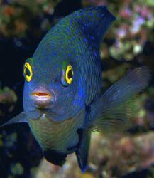 Damselfish, Fiji (Nikon F4/105mmMacro/Velvia) by Andrew Dawson