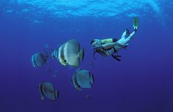 diver and bat fish on manta reef , guinjata bay Moz by Andrew Woodburn
