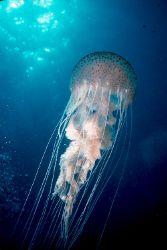 Warty Jelly taken in Roatan, Honduras. Equipment used: Ni... by Beverly J. Speed