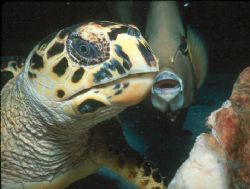 """""""Cayman Friends""""  Photo of hawksbill turtle and gray ange... by Beverly J. Speed"""