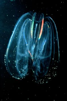 The Ctenophore Mnemiopsis leidyi - an invader in the Blac... by Lyubomir Klissurov