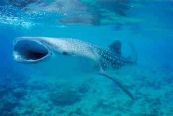 Requin Baleine / Maldives by Philippe Brunner