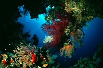 Corals: Sha'ab Maksur in Fury Shoal, Egyptian Red Sea by Bob Whorton 