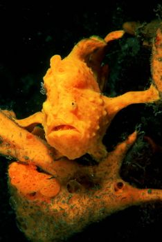 2x Frogfish in Indonesia, F100 &105mm. by Greg Grant