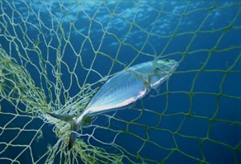fish caught in fixed net between two coral outcrops , Ind... by Greg Grant