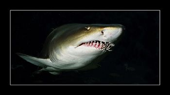 Ragged Tooth Shark. Soth Africa. Nik. V 15mm 200w strobe by Johannes Felten