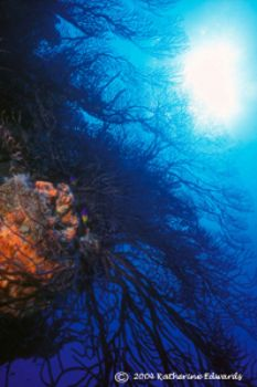 deep water gorgonians in Little San Salvador with Nikonos... by Katherine Edwards
