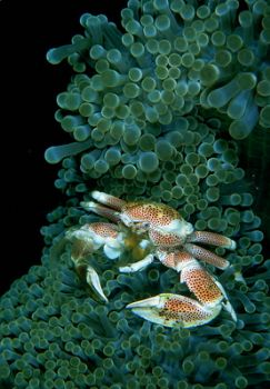 crab / kbr / indonesia . f100 &105mm . by Greg Grant