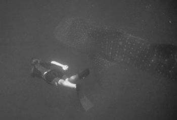 Free diving with waleshark , Mozambique. by Greg Grant