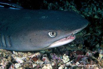 white tip shark Malaysia by Katherine Edwards