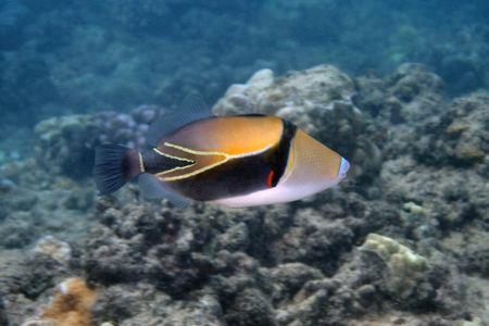 Humuhumunukunukuapuaa...Hawaii state fish. Bashful by nat... by Glenn Poulain