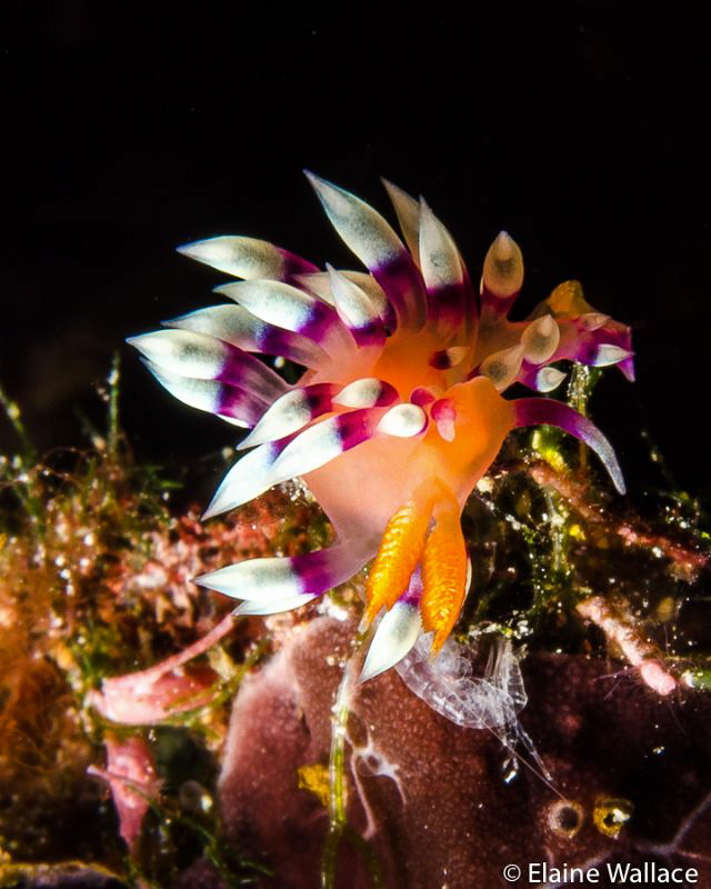 Flabellina Exoptata in Bunaken, with lunch? by Elaine Wallace