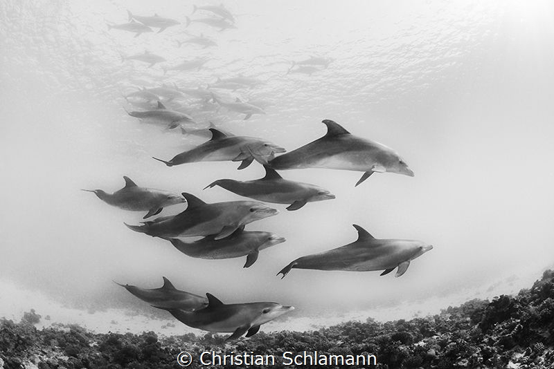 Dolphins in the red Sea. Great Moment! by Christian Schlamann