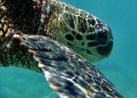 Hawaiian Green Sea Turtle...Sharks Cove Oahu by Glenn Poulain