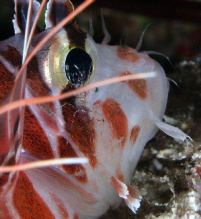 Lionfish w/cleaner shrimp-Saipan Grotto by Martin Dalsaso