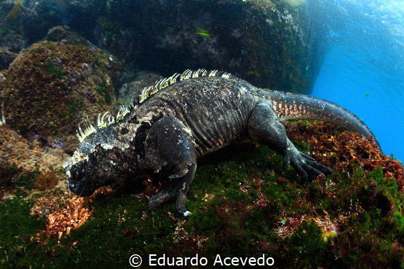 Iguana by Eduardo Acevedo