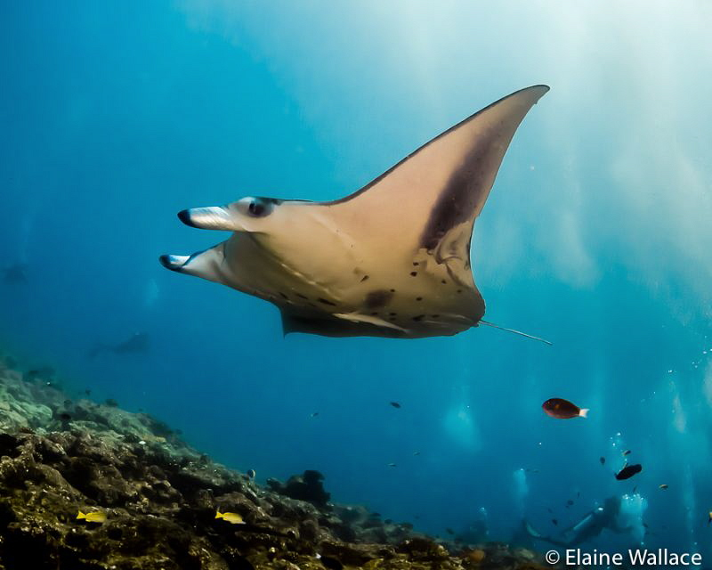 Manta cleaning station by Elaine Wallace
