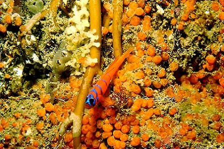 Blue banded goby - Catalina Island, CA. Lucky shot - thes... by Dallas Poore
