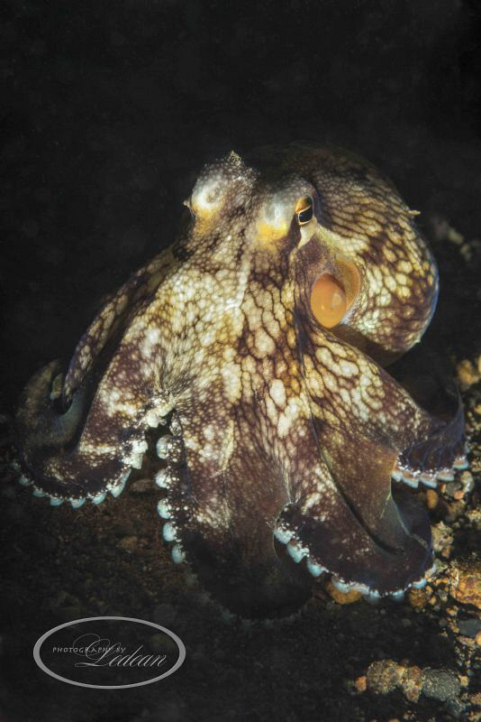 """Night dive at """"the pier"""" Anilao 1/250 sec;   f/25;   ISO... by Ledean Paden"""