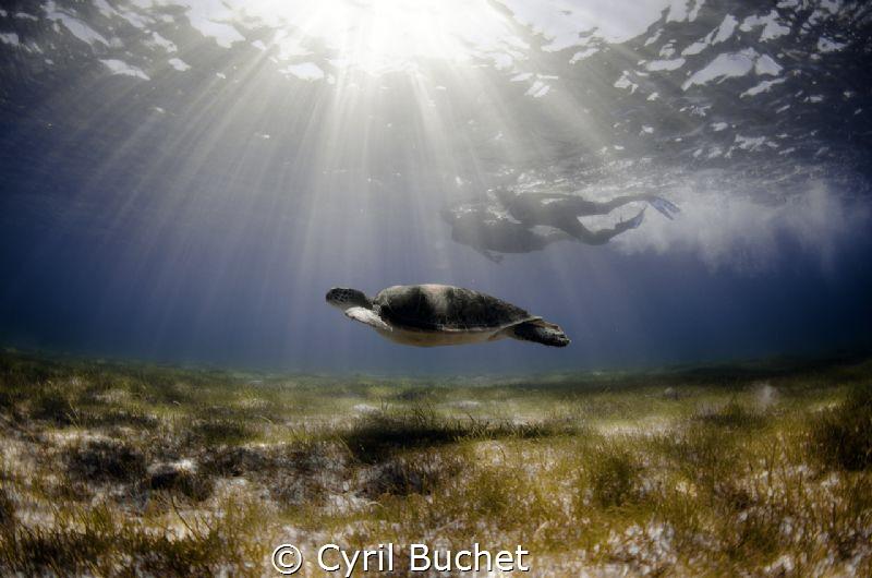 Green sea turtle (Chelonia mydas) by Cyril Buchet