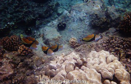"""""""Herd of Humuhumunukunukuapuaa"""", La Perouse Bay, Maui. by Alison Ranheim"""
