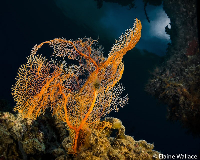 Single coral, looking out from a swim through by Elaine Wallace