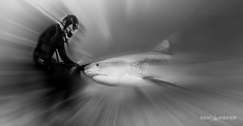 Vinny from Epic Diving working with Emma, a large tiger s... by Ken Kiefer