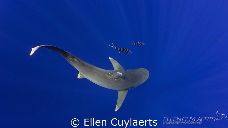 """""""Curves"""" Oceanic whitetip shark in the Cat Island Blue by Ellen Cuylaerts"""