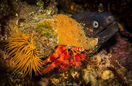 Muraena helena and Dardanus calidus with an anemone, Fonz... by Ivan Vychodil