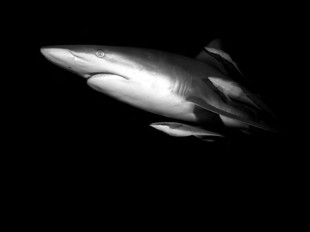 Oceanic blacktip shark in Durban. by Jenny Strömvoll