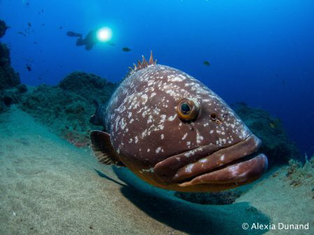 Friend Felix the Grouper and my buddy. Canary Islands, wh... by Alexia Dunand
