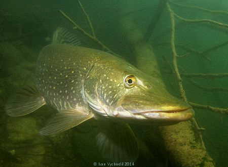 Pike (Esox lucius)waiting for its prey among branches of ... by Ivan Vychodil