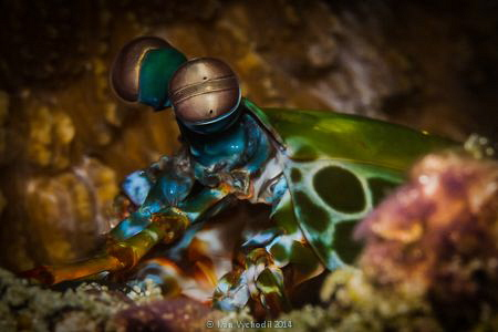...amazing eyes of the mantis shrimp - Odontodactylus scy... by Ivan Vychodil
