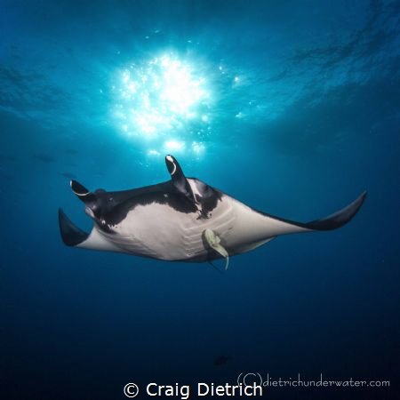 """Sun Ball Manta"" Manta shot from Socorro. Got this shot o... by Craig Dietrich"