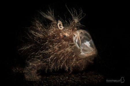 The Yawning Hairy Frogfish. by Maziar Momtazi