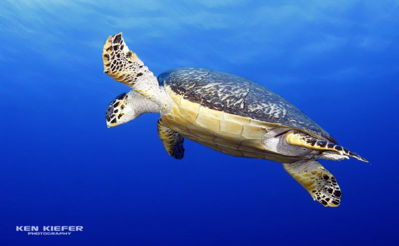 Hawksbill Turtle going for a breather