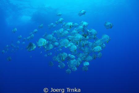 Flying Batfish by Joerg Trnka