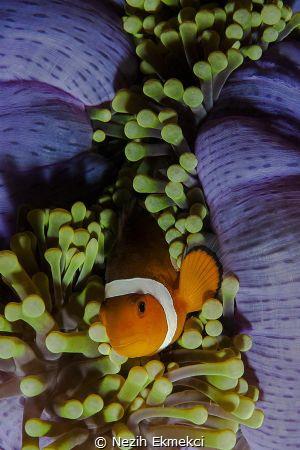 Anemonefish by Nezih Ekmekci