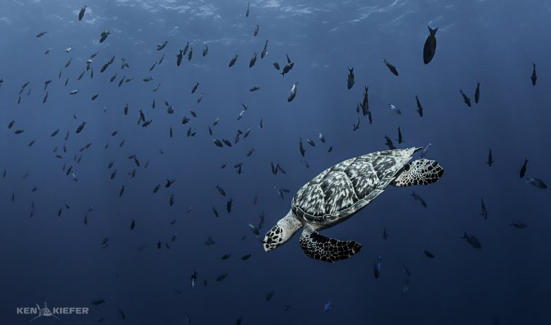 Hawksbill Sea Turtle  diving through a school of Creole ... by Ken Kiefer