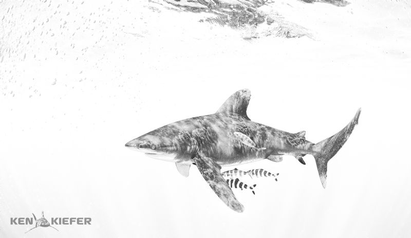 Oceanic Whitetip Shark with Pilotfish Cat Island, Bahamas by Ken Kiefer