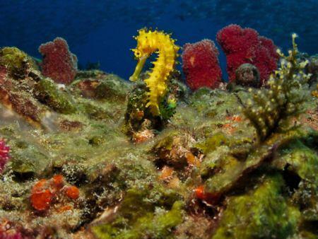 Spiny seahorse. by Jenny Strömvoll