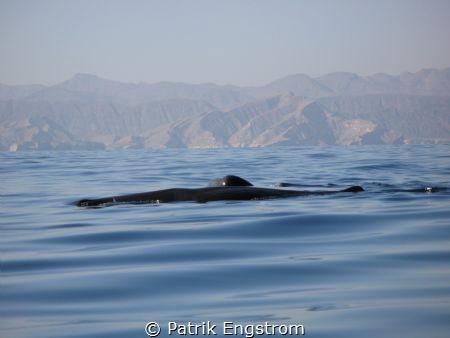 Sperm whales Oman by Patrik Engstrom