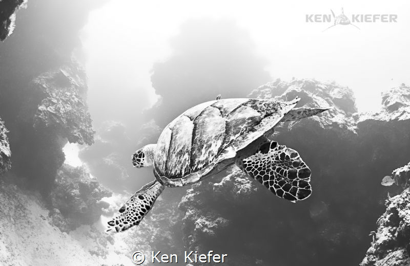 Hawksbill Turtle twisting and turning through coral pilla... by Ken Kiefer