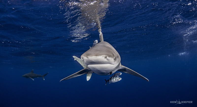 Pair of Oceanic Whitetip Sharks near Cat Island Bahamas. ... by Ken Kiefer